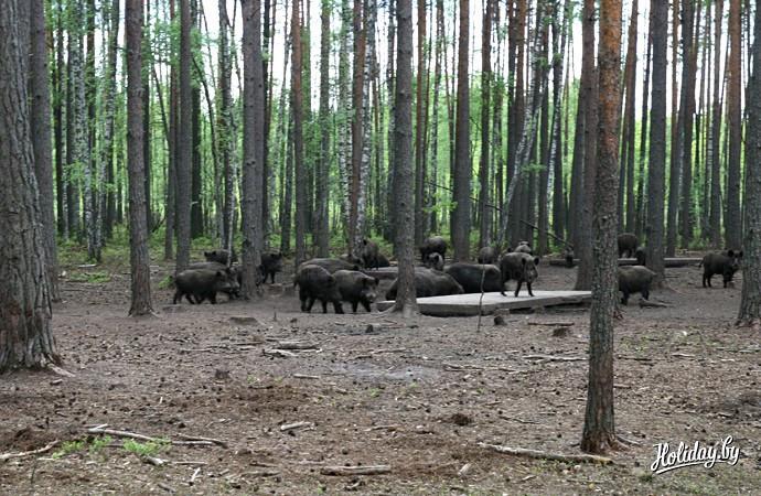 """Сафари-парк в """"Припятском"""". Популяция кабанов свыше 3 000 особей"""