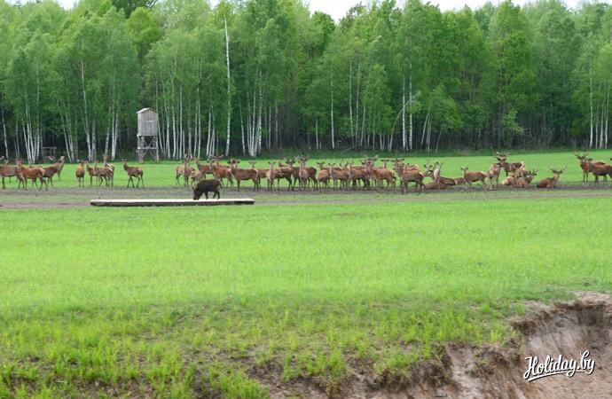 """Сафари в """"Припятском"""". На поле - стадо оленей"""
